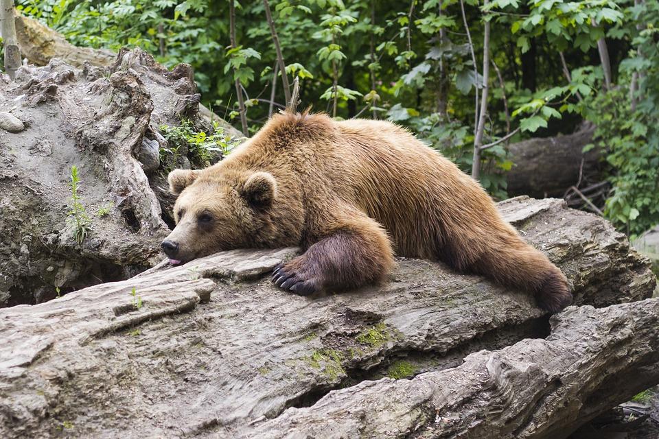bear-1383980_960_720